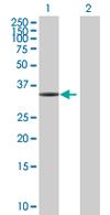 Western blot - C1QTNF9 antibody (ab68227)