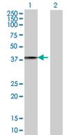 Western blot - EIF3S1 antibody (ab68243)