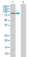 Western blot - ZNF23 antibody (ab68252)