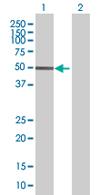 Western blot - ZKSCAN1 antibody (ab68254)