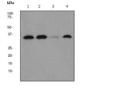 Western blot - Cdk4 antibody [EPR2513Y] (ab68266)