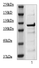 Western blot - JAK2 antibody (ab68269)