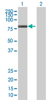 Western blot - ZBTB3 antibody (ab68292)