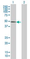 Western blot - PRAF1 antibody (ab68293)