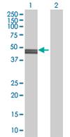 Western blot - FARS2 antibody (ab68324)