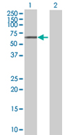 Western blot - NAP1L2 antibody (ab68327)