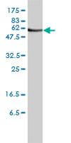 Western blot - ORC2 antibody (ab68348)