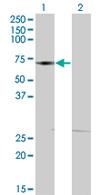 Western blot - DMAP1 antibody (ab68351)