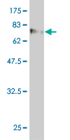 Western blot - WDR20 antibody [1D10] (ab68356)