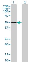 Western blot - TRIM38 antibody (ab68468)