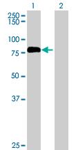 Western blot - GAS2L1 antibody (ab68513)