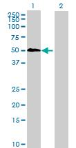 Western blot - KHDRBS3 antibody (ab68515)