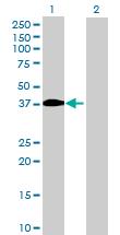 Western blot - BTN3A2 antibody (ab68546)
