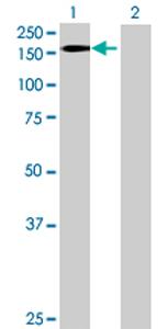 Western blot - ZNF507 antibody (ab68564)