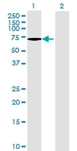 Western blot - ARSG antibody (ab68571)