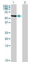 Western blot - FAM98A antibody (ab68625)