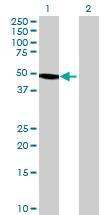 Western blot - TBL2 antibody (ab68676)