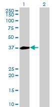 Western blot - NECAP1 antibody (ab68708)