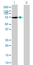Western blot - SCHIP1 antibody (ab68717)