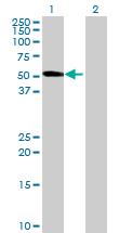 Western blot - PI4K2A antibody (ab68732)