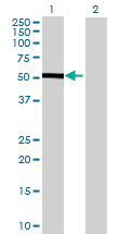 Western blot - CHST12 antibody (ab68734)
