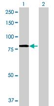 Western blot - nSMase2 antibody (ab68735)