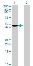 Western blot - MED29 antibody (ab68738)