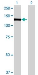 Western blot - PLEKHG2 antibody (ab68756)