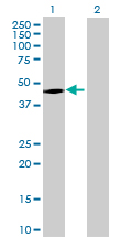 Western blot - TTC23 antibody (ab68771)
