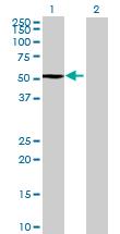 Western blot - RBM34 antibody (ab68774)