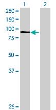 Western blot - PCDHB2 antibody (ab68865)