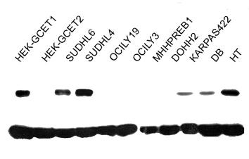 Western blot - GCET1 antibody [RAM341] (ab68889)