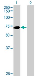 Western blot - C10orf137 antibody (ab68951)