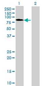 Western blot - IRF2BP1 antibody (ab68956)