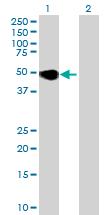 Western blot - PLA1A antibody (ab68976)
