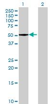 Western blot - UBA5 antibody (ab69046)