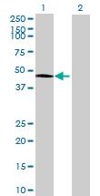 Western blot - C10orf97 antibody (ab69145)