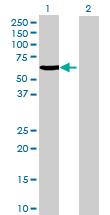 Western blot - C20orf3 antibody (ab69162)