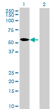 Western blot - CRLF3 antibody (ab69167)