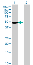Western blot - FKBPL antibody (ab69205)