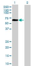 Western blot - NETO1 antibody (ab69226)