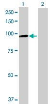 Western blot - FLYWCH1 antibody (ab69284)
