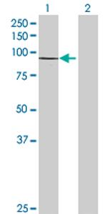 Western blot - FGD3 antibody (ab69297)