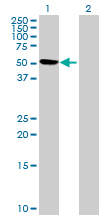 Western blot - FAM90A1 antibody (ab69326)