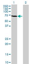 Western blot - KLHL10 antibody (ab69333)