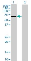 Western blot - MSTO1 antibody (ab69334)