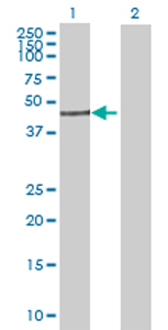 Western blot - SCLY antibody (ab69343)
