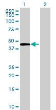 Western blot - LOC283970 antibody (ab69369)