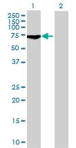 Western blot - GCP4 antibody (ab69416)