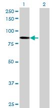 Western blot - CARS antibody (ab69454)